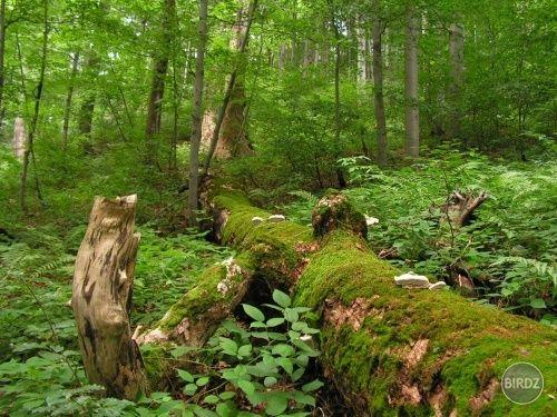 Stužický prales - NP Poloniny