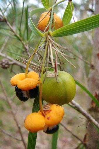 Wombat Berry - Eustrephus latifolius. Perennial climber with edible fruit.
