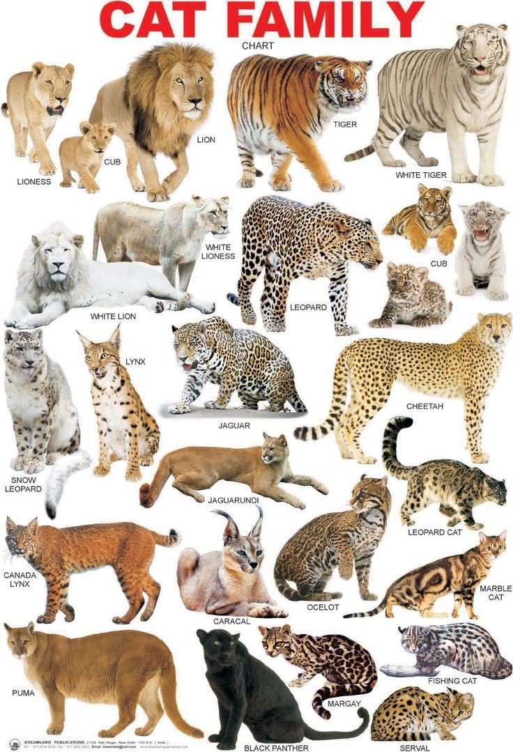 было все кошачьи список с картинками особенностей