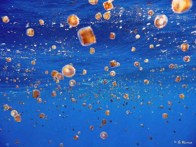 thimble jellyfish swarm | ocean motion | Pinterest
