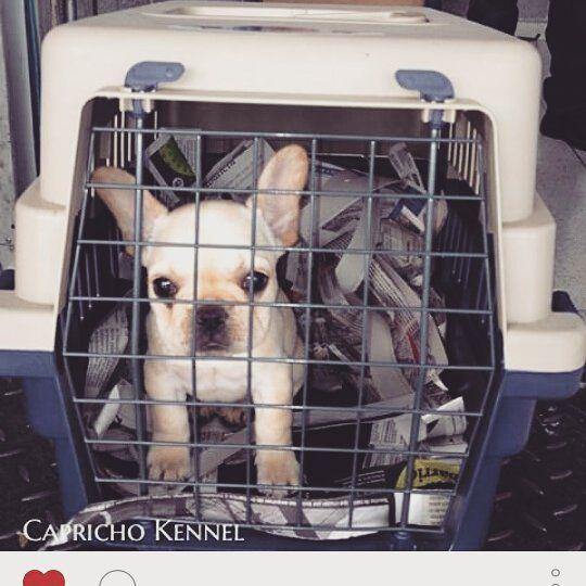 Yo a los 2 meses de nacida. Rumbo a mi nuevo hogar @jjhonjaimes @hannabruges @caprichokennel #medellin #bogotá #frenchie #frenchbulldog #avianca #frenchiesofinstagram  #puppylove #puppy #doglover