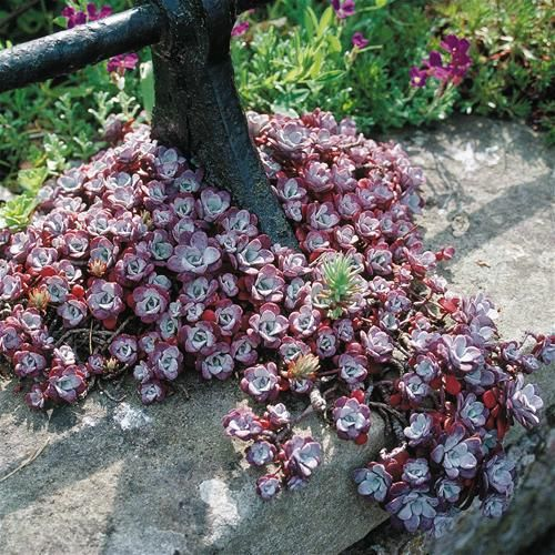 Sedum spathulifolium - purpureum or 'Cape Blanco' to tuck into nooks and crannies