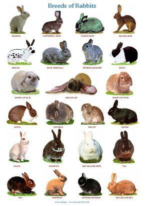 A4 Gelamineerd Posters. Rassen van konijnen