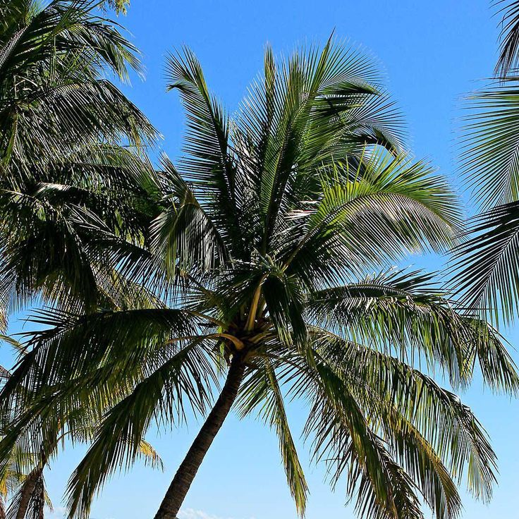 Bali Island coconut tree.