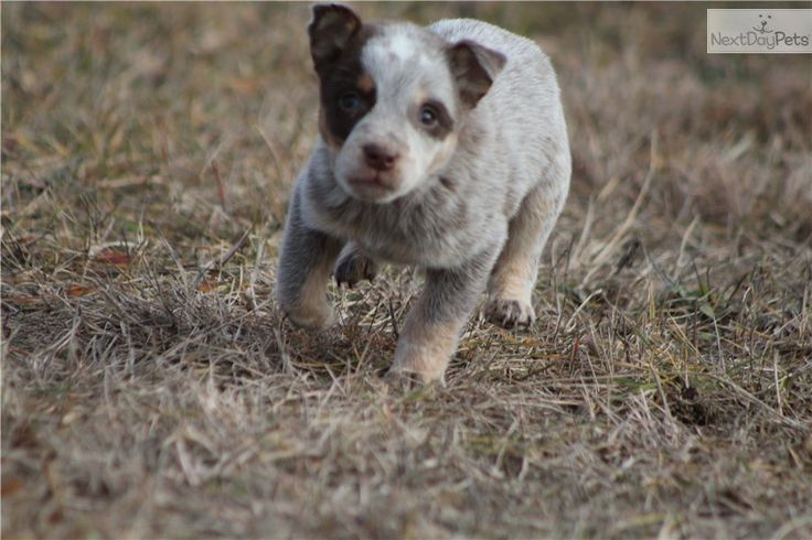 Heeler Dogs For Sale