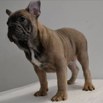 Litter of 6 French Bulldog puppies for sale in SAN DIEGO, CA. ADN-61561 on PuppyFinder.com Gender: Male. Age: 16 Weeks Old