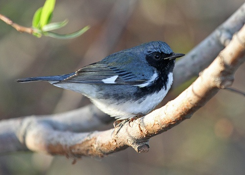 feathersandbeaks:    dendroica:    Black-throated Blue Warbler by jeff lewis photos on Flickr.    Young (HY or SY) male. I cannot stop aging birds that see in pictures…