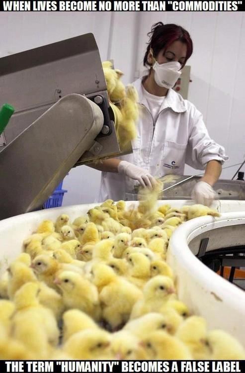 These living, baby chicks are simply a commodity. The males are put into a grinder because they are a side effect of the business that has no use.