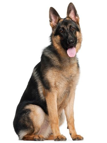 Because of his intelligence and loyalty, German Shepherds often work with police, the military and the disabled. #funfact #pets