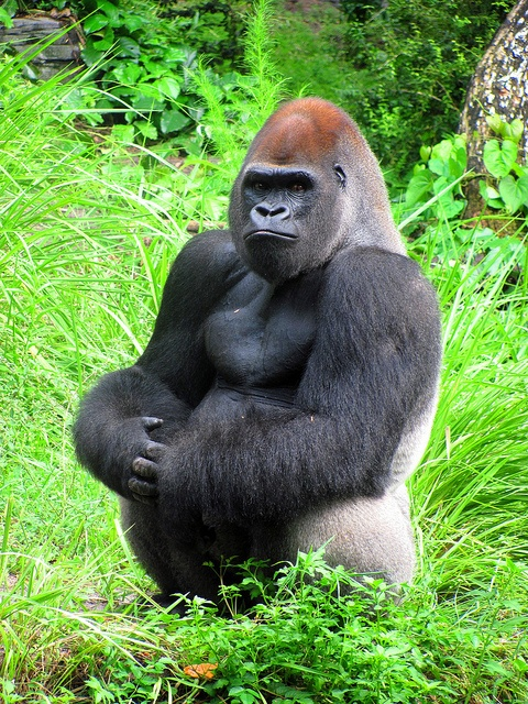 Www Bing Com1 Microsoft Way Redmond: 17 Best Images About Great Apes On Pinterest