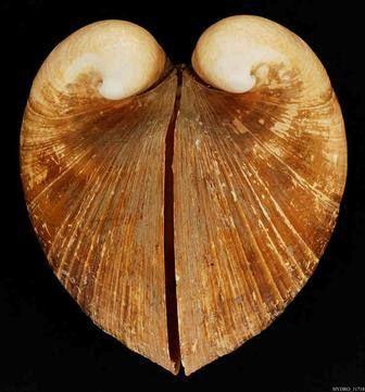 Glosus humanus (L., 1758), το ισοκάρδιο, από την υδροβιολογική συλλογή του Μουσείου Γουλανδρή Φυσικής Ιστορίας - Glosus humanus (L., 1758), from the marine biology collection of the Goulandris Natural History Museum Creator : Μουσείο Γουλανδρή Φυσικής Ιστορίας - Goulandris Natural History Museum