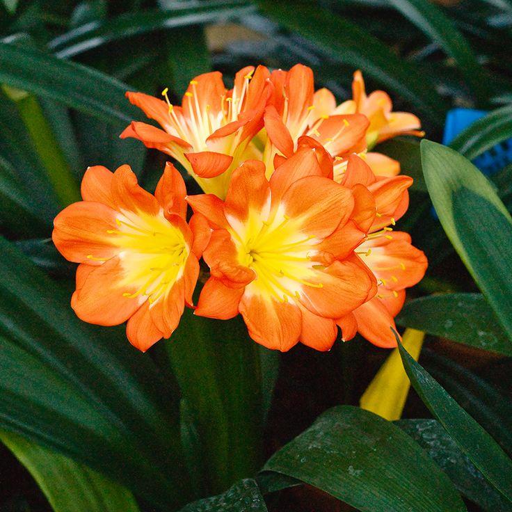 Clivia miniata, Multi-petal x Multi-petal.  Colorado Clivia's plant number 1912C.