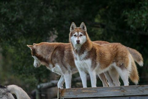 Lexi and Siggie - 2 of the Huskies here at http://wolfsanctuary.co.za