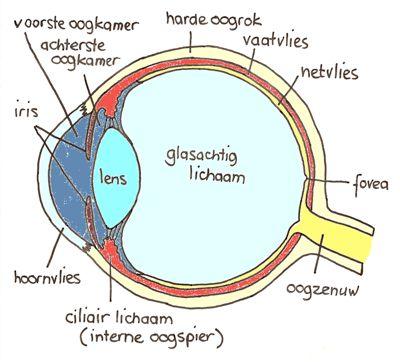 Doorsnede menselijk oog
