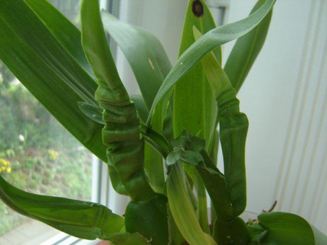 orchideen krankheiten knittrige-blaetter-falsche-bedingungen-wachstum