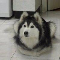 #dogalize Tally, il cane husky che crede di essere un gatto #dogs #cats #pets