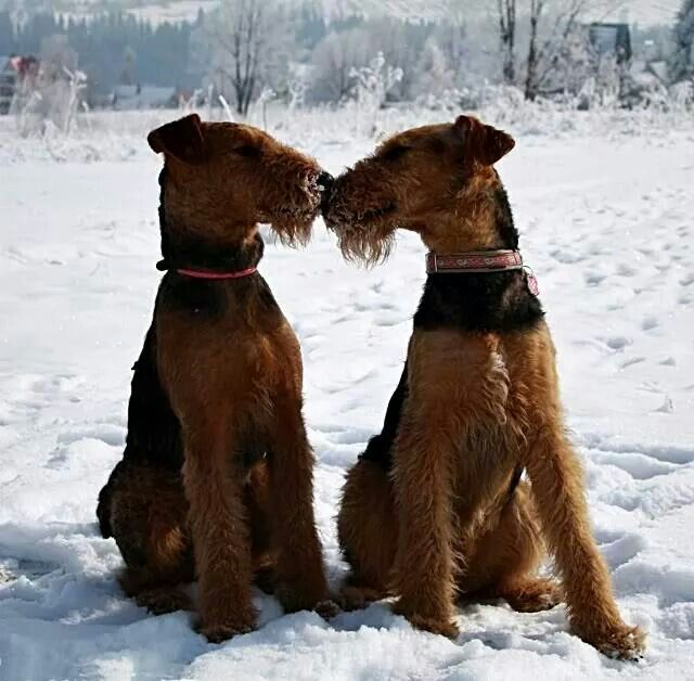 Airedales in Love ♡
