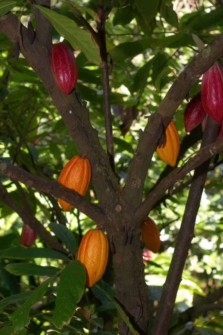 Cacao Trees Can Live To Be 200 Years Old, But They Produce