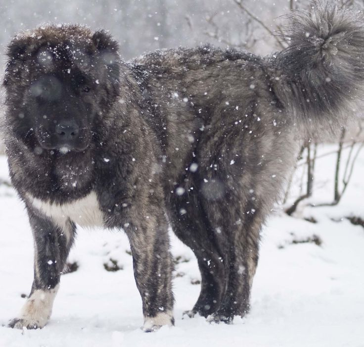 Download Caucasian Ovcharka Chubby Adorable Dog - 52602b4a78db277543a86276f18029b9--shepherd-dogs-caucasian-shepherd-dog  Pictures_69992  .jpg