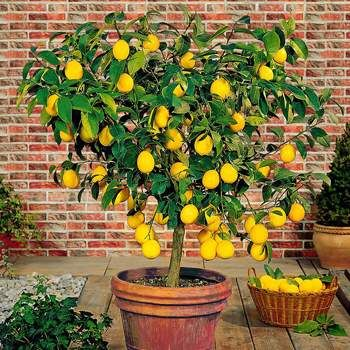 Citrus Trees for California and Louisiana | Fast-Growing-Trees.com