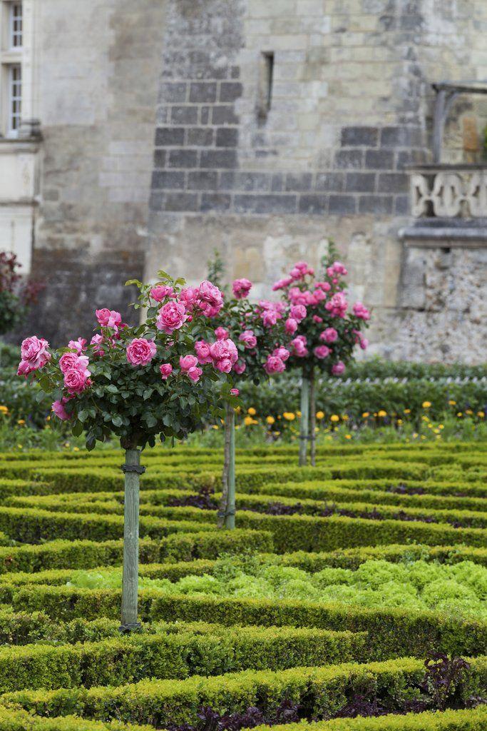 Rosier tige et rosier pleureur: planter et tailler – Ooreka