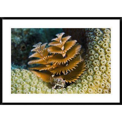 Global Gallery Christmas Tree Worm Filter Feeding While Attached To Great Star Coral Bonaire Netherlands Antilles Caribbean Framed Photographic Print Worms Christmas Tree Custom Framing