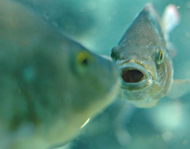 Pin by donald kibby on fishing pinterest for Kumak s fish