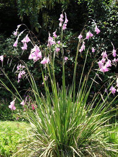 Rama Pulcherrimum Green Thumb Pinterest Plants Perennials And Garden