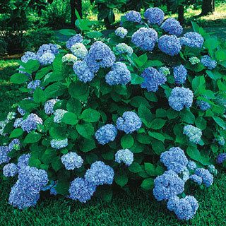 Enjoy a wealth of attractive, deep blue, globe-shaped flowerheads all summer with Hydrangea 'Nikko Blue'!