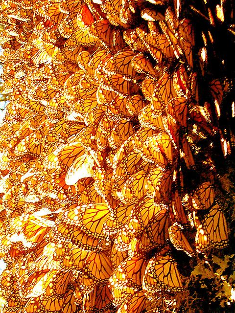 Monarchs, Sierra Chincua Butterfly Sanctuary, Michoacan, Mexico (Steve Bridger)