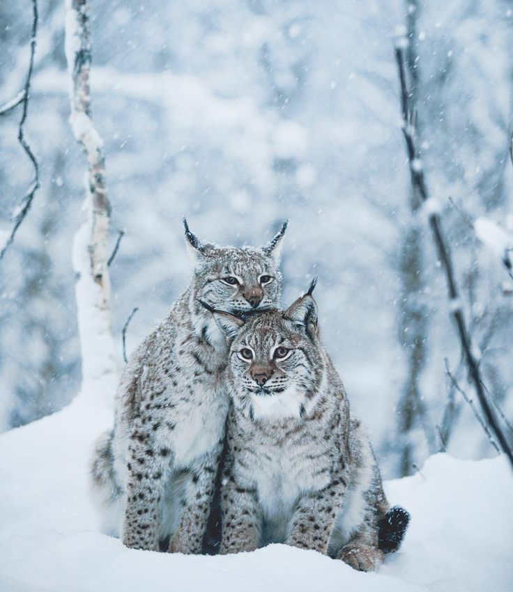 #wildlife #snow #leopards ...oh, to remain, wild, free, without interference ... that is my wish ...