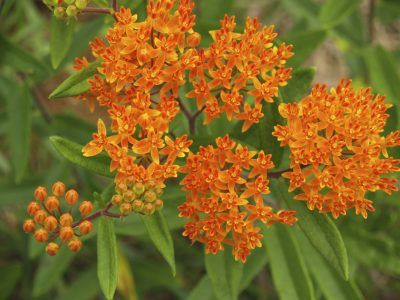 Growing Butterfly Weed Plants: Tips On Butterfly Weed Care -  Butterfly weed is appropriately named, as the nectar- and pollen-rich flowers attract hummingbirds and hordes of butterflies, bees and other beneficial insects throughout the blooming season. Want to know more? Click here.