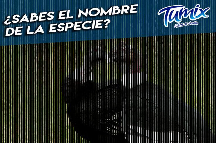 Esta especie dibuja el cielo de los páramos y altas cumbres de nuestro hermoso país, ¿sabes cuál es? Comenta con la etiqueta #SerFrescoEsSerColombiano :D