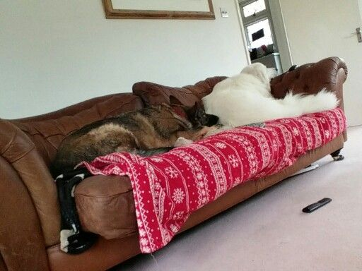 Pyrenean mountain dog and gsd relaxing on a sofa