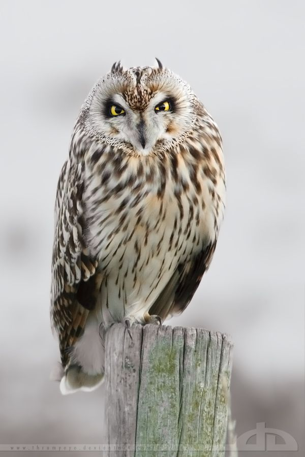 ✯ In love with a Short Eared Owl .. By *Thrumyeye*✯
