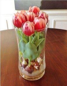Выращиваем тюльпаны дома в любую пору года с помощью стеклянных шариков и воды