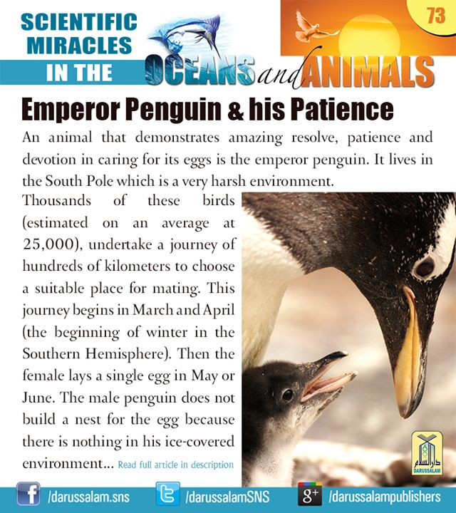 "The Emperor Penguin and his unbelievable Patience [from ""Scientific Miracles in the Oceans & Animals"" by ""Yusuf Al-Hajj Ahmad"", published by Darussalam, 2010] #ScientificMiraclesInTheOceansAndAnimals #DarussalamPublishers #IslamicEBooks #AmazonKindle #KindleStore"