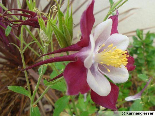 Ancolie commune (Aquilegia vulgaris) photographiée à Billiers