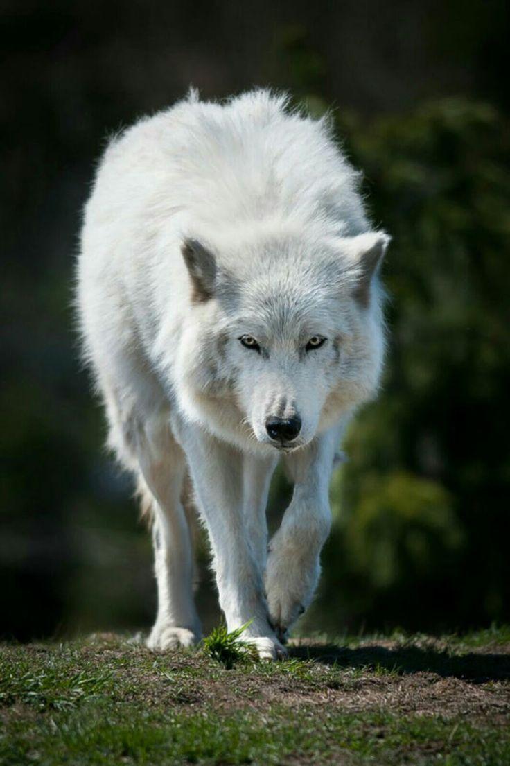 Белый волк картинка