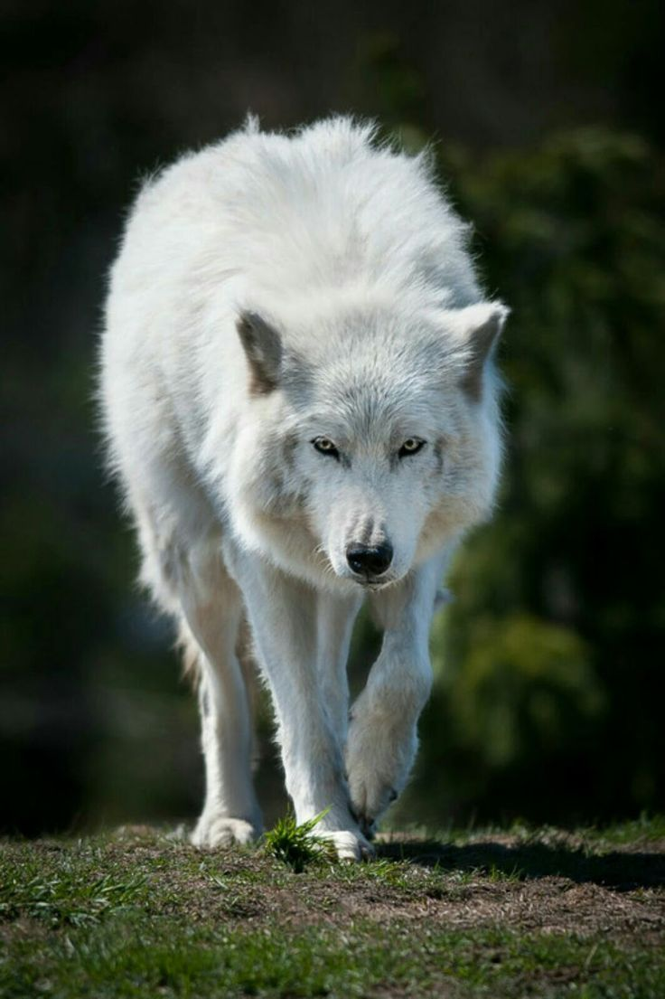 Анимация, картинки белый волк