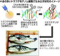 遺伝子を自在に書き換える技術「ゲノム編集」を、魚の養殖に応用する研究が進んでいる。京都大などのチームは、身の多いトラフグなどを育てることに成功しており、養殖のコスト削減につながることが期待されている。ただ、ゲノム編集された生物に対する規制はなく、市販できる条件整備など、早急なルール作りを国に求める声も上がっている。(諏訪智史)