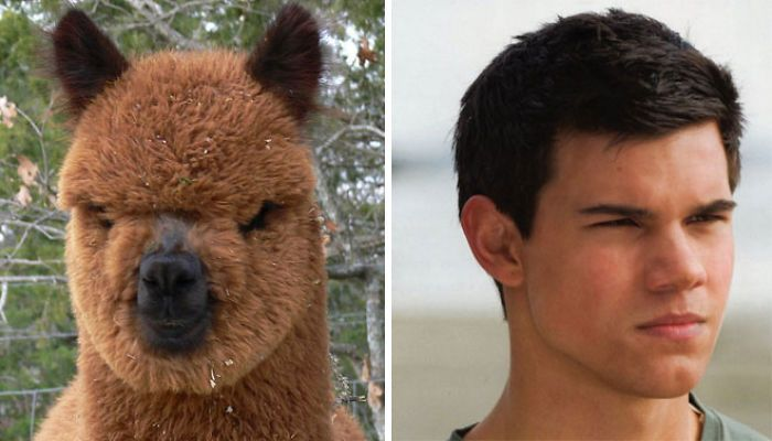 Alpaca Looks Like Taylor Lautner (20 Funny Photos Of Animals That Look Just Like Famous People.)