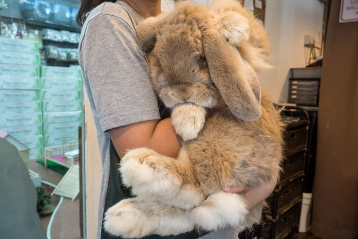 Rabbit Headquarters: Meet The Friendly, Giant French Lop & His Friends At Pasir Ris Farmway