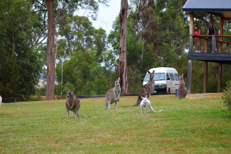 Our new WHITE Kangaroo at Yering Gorge Cottages #yeringcottages #easterngc #seeaustralia #australia #yarravalley
