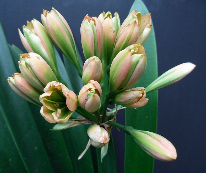 Ghoenang, a green and pink clivia