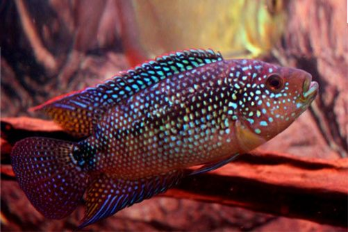 Jack Dempsey | Central American | American Cichlids | Fish | Smiths Aquarium