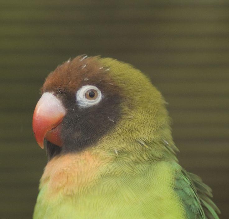 112 best Lovebirds images on Pinterest