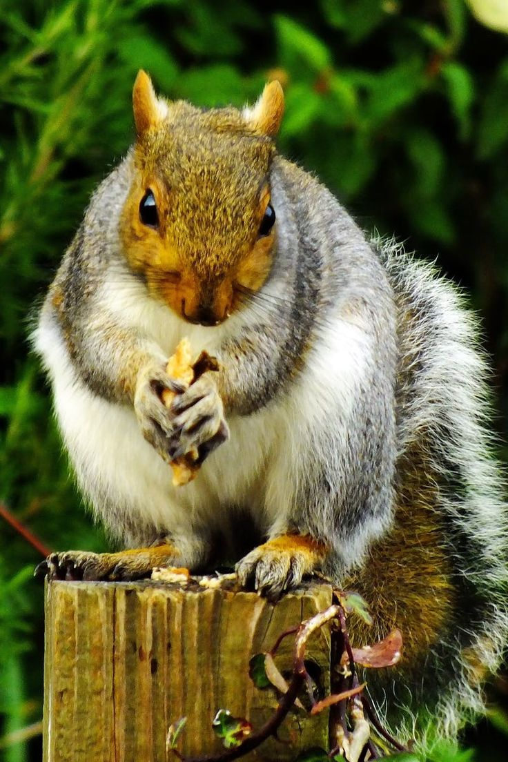 best 25 images of squirrels ideas on pinterest squirrel