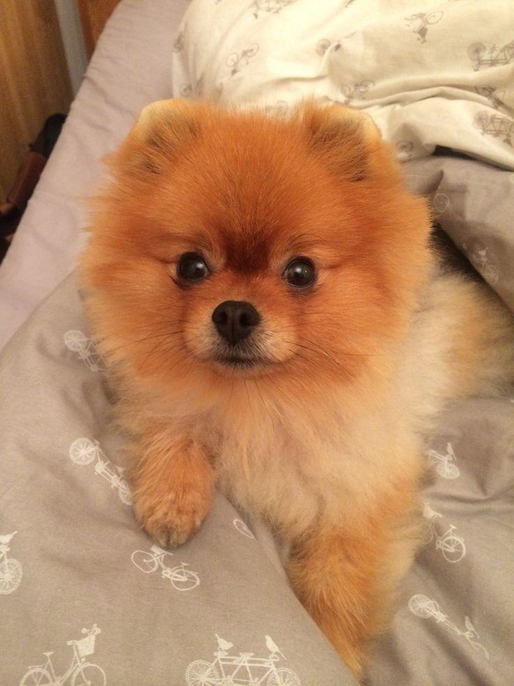 Pomeranian - Sherlock ❤️