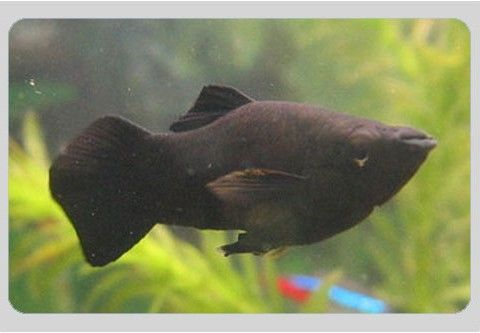 Buy black molly fish online at the lowest price in india for Black molly fish